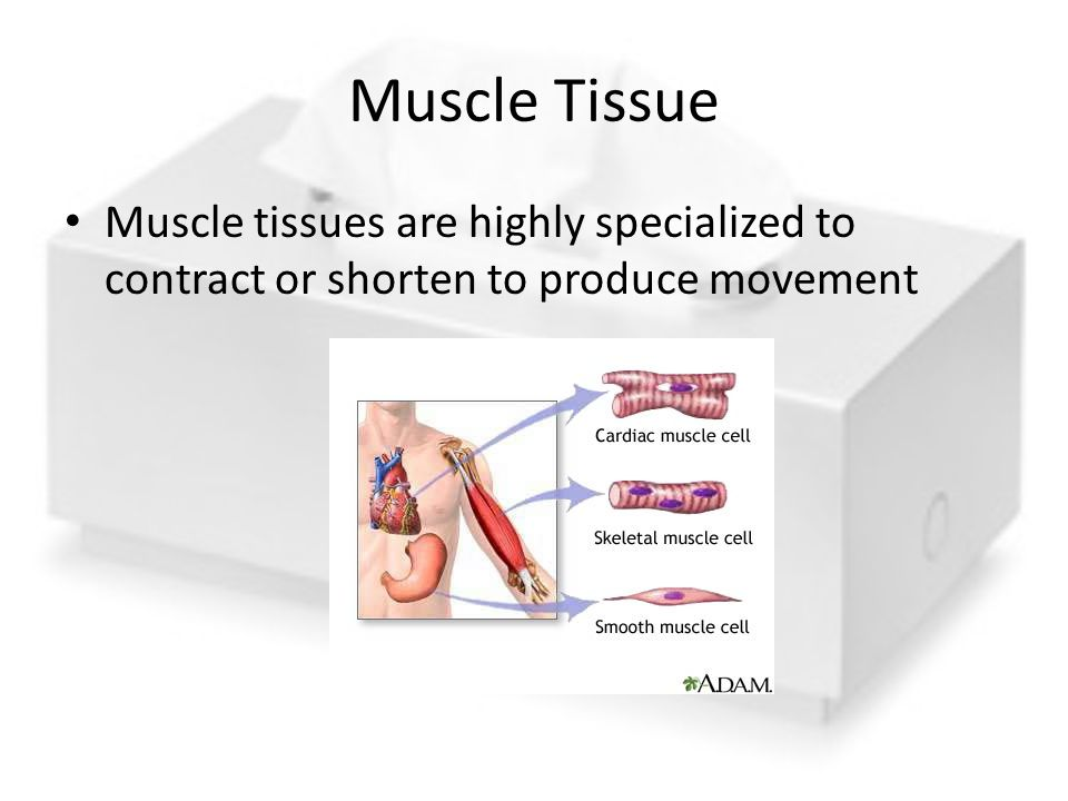Muscle Tissue Muscle tissues are highly specialized to contract or shorten to produce movement