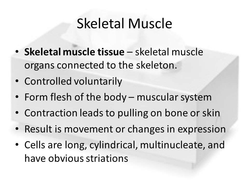 Skeletal Muscle Skeletal muscle tissue – skeletal muscle organs connected to the skeleton. Controlled voluntarily.