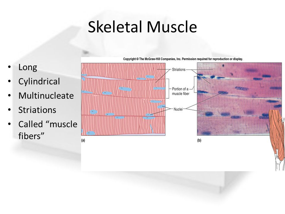 Skeletal Muscle Long Cylindrical Multinucleate Striations
