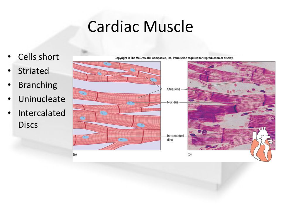 Cardiac Muscle Cells short Striated Branching Uninucleate