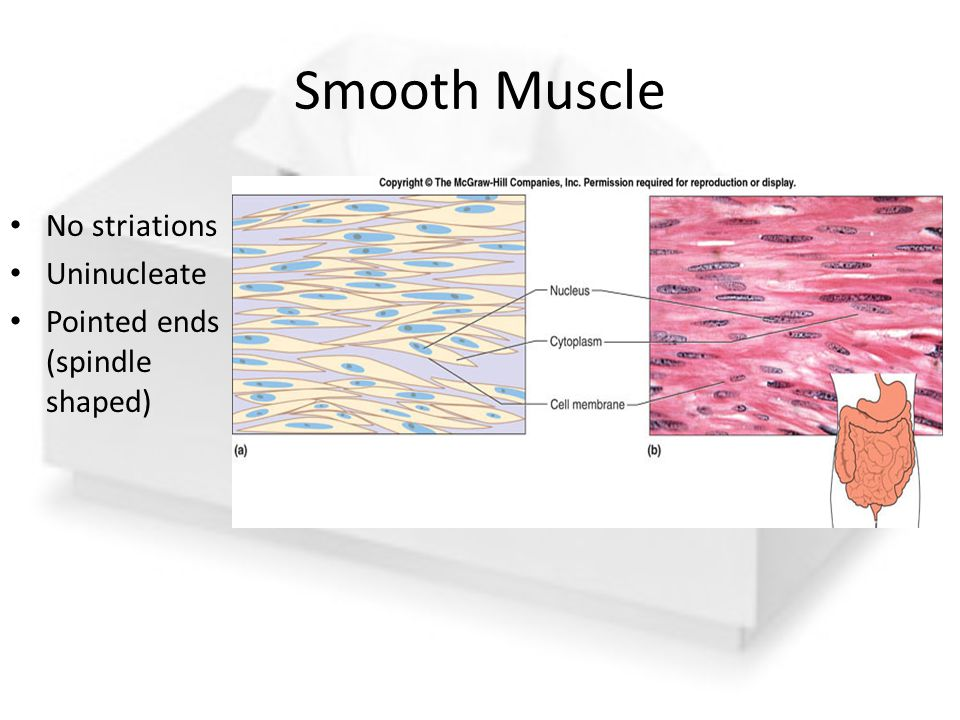 Smooth Muscle No striations Uninucleate Pointed ends (spindle shaped)