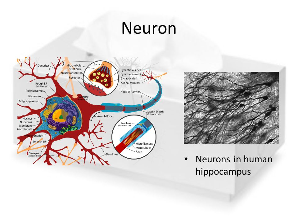 Neuron Neurons in human hippocampus