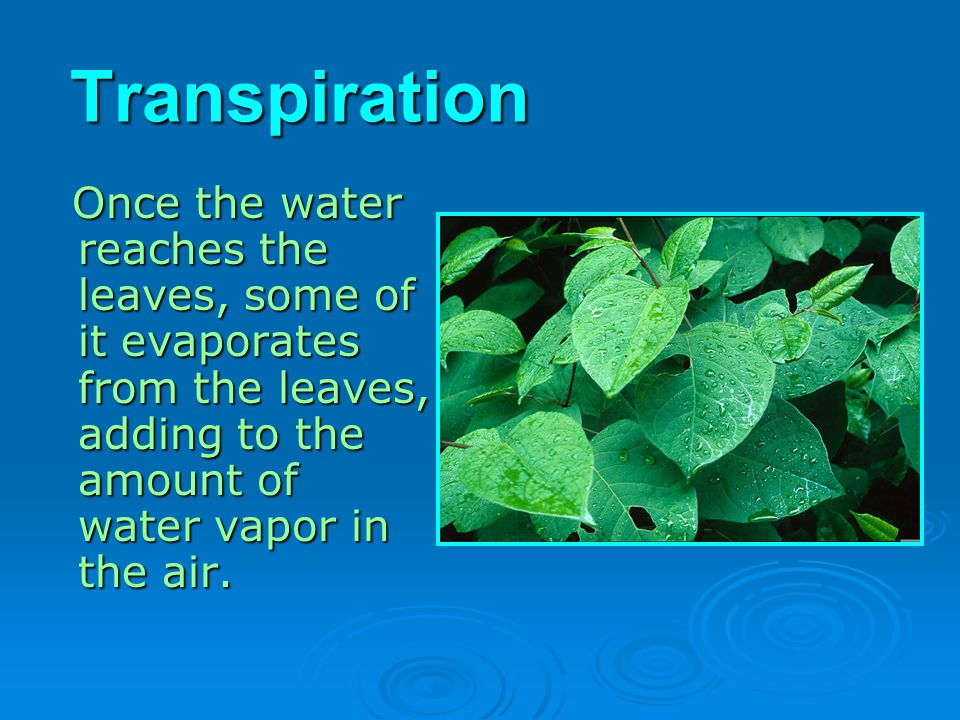 Transpiration Once the water reaches the leaves, some of it evaporates from the leaves, adding to the amount of water vapor in the air.
