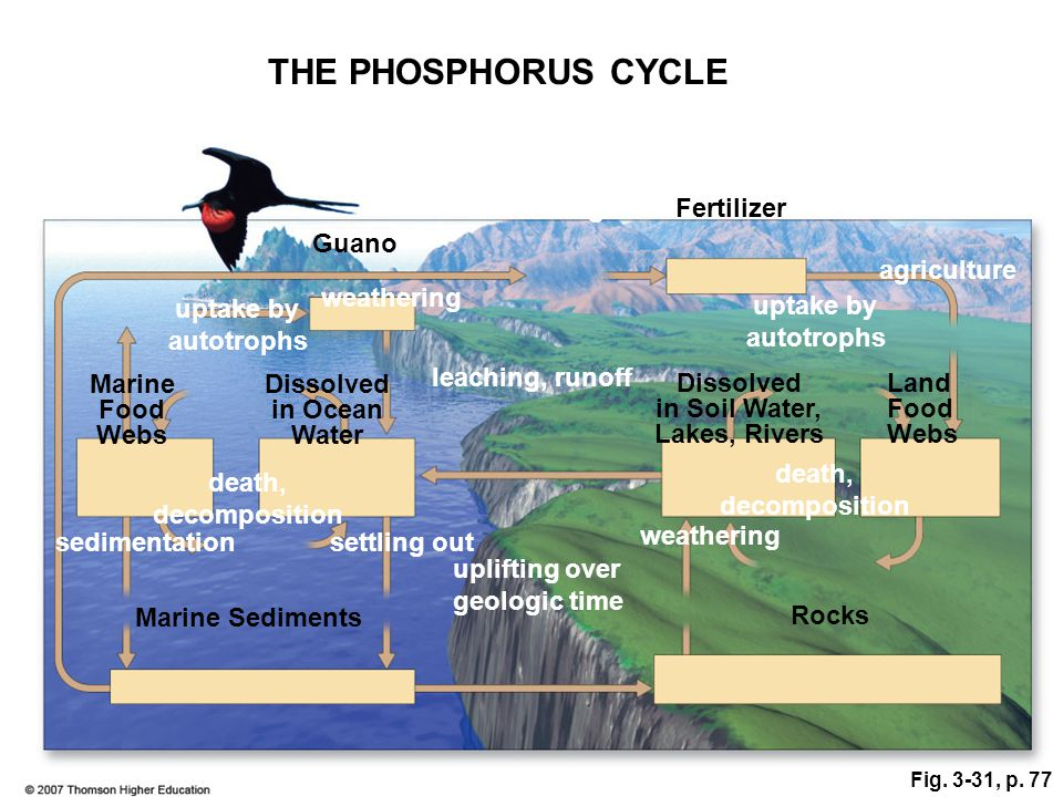 THE PHOSPHORUS CYCLE mining Fertilizer excretion Guano agriculture