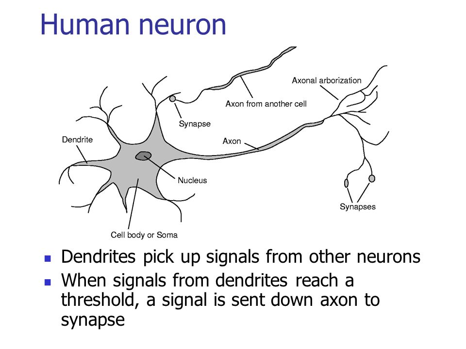 Human neuron Dendrites pick up signals from other neurons