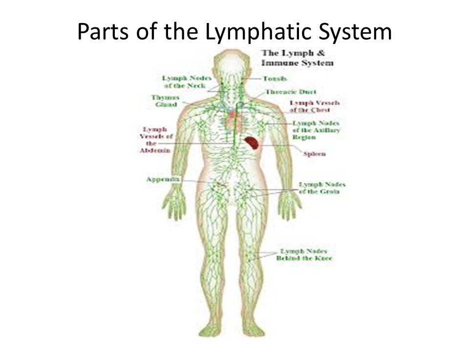 Parts of the Lymphatic System