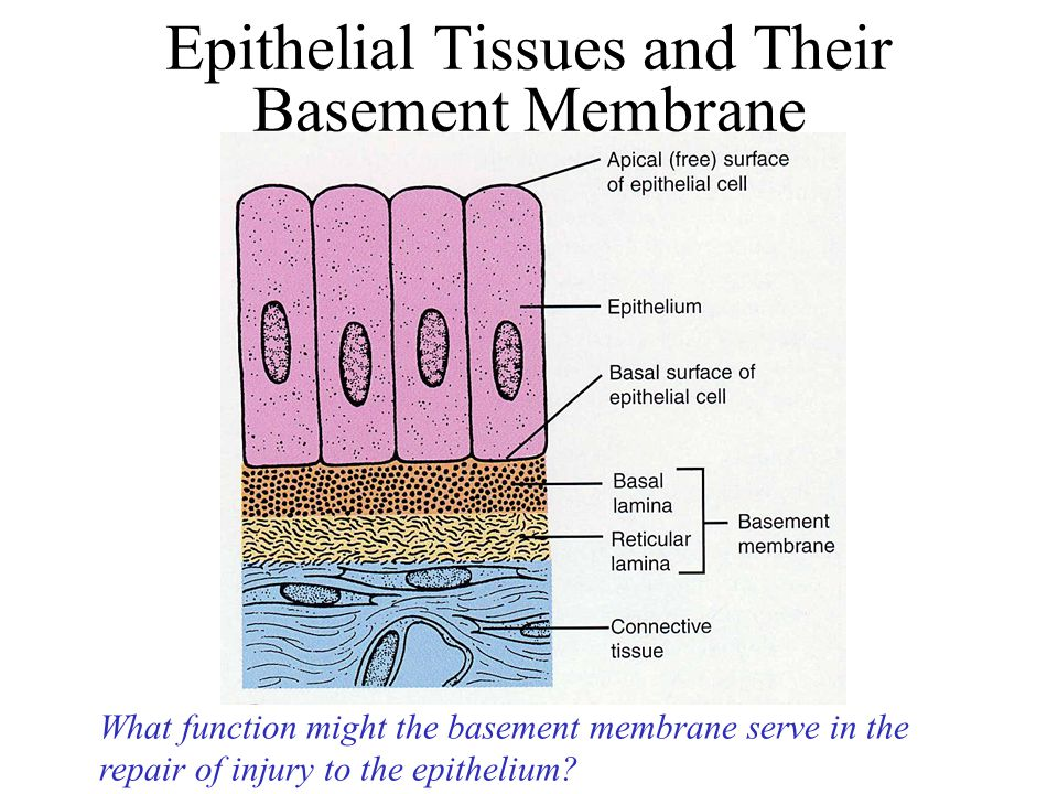 Good Basement Membran Part - 2: Epithelial Tissues And Their Basement Membrane