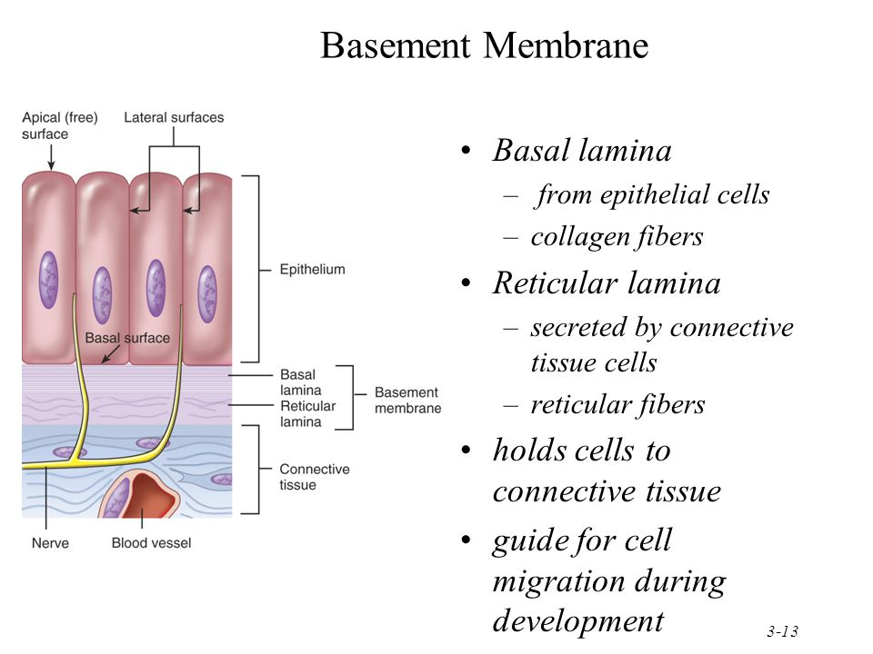 basement membrane basal lamina reticular lamina