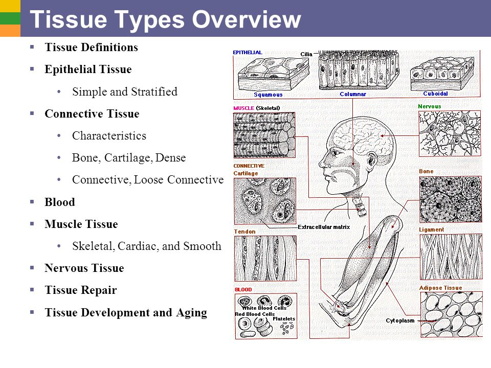 Tissue Types Overview Tissue Definitions Epithelial Tissue - ppt ...