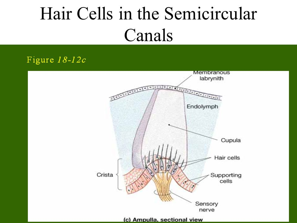 Hair Cells in the Semicircular Canals