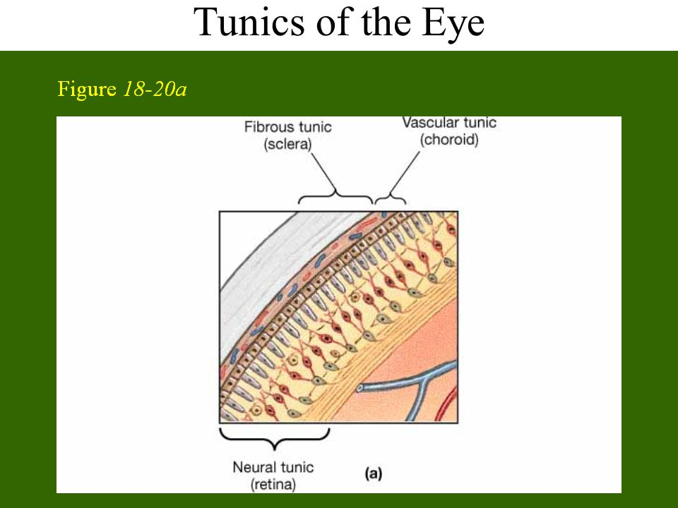 Tunics of the Eye