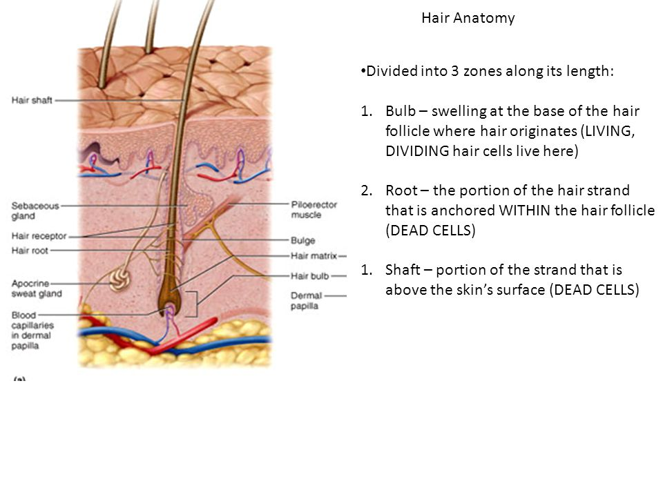 Images of Hair Strand Anatomy - #SpaceHero
