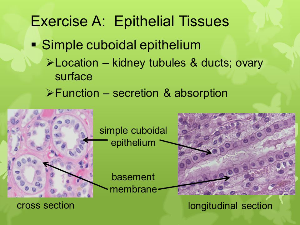 location of the epithelial tissue View notes - epithelial tissue table from bio 201 at rio salado epithelial tissue type structure (description) location in the body histology (drawing) function.