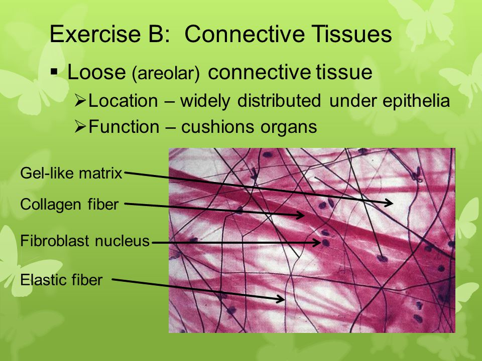 loose areolar connective tissue Description of areolar connective tissue loose connective tissue with a gel-like matric and all three fiber types (collagen, elastic, and reticular).