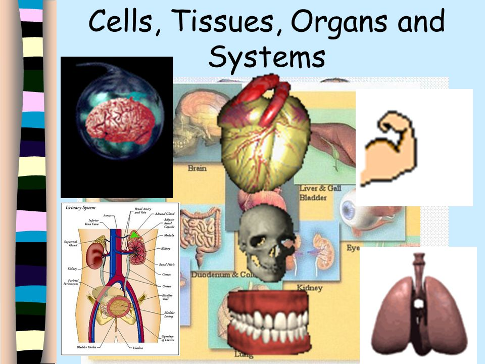 Cells Tissues Organs And Systems Ppt Video Online Download