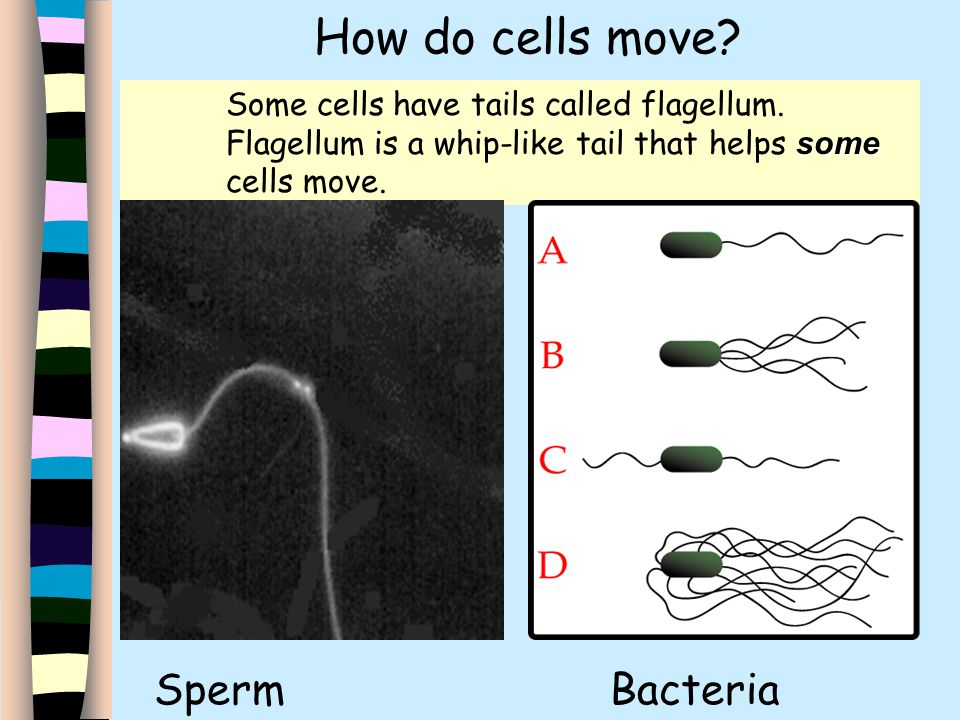 Do sperm cells have organelles Such casual