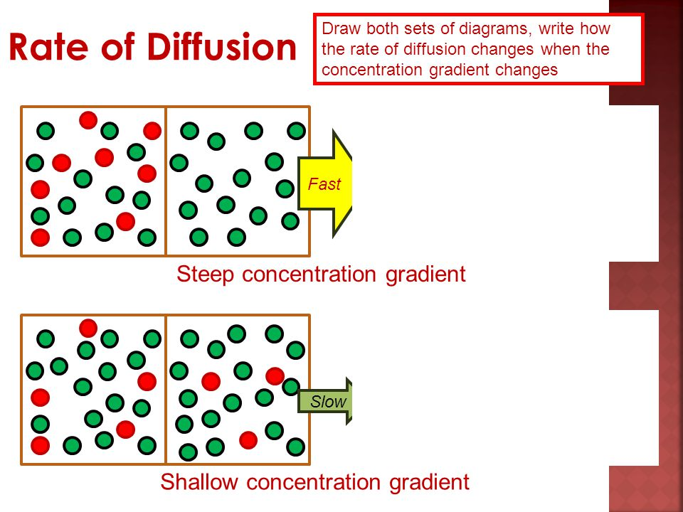 Rate of Diffusion Steep concentration gradient
