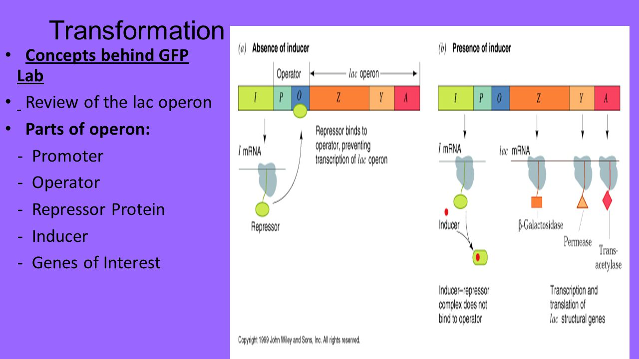 Transformation Concepts behind GFP Lab Review of the lac operon