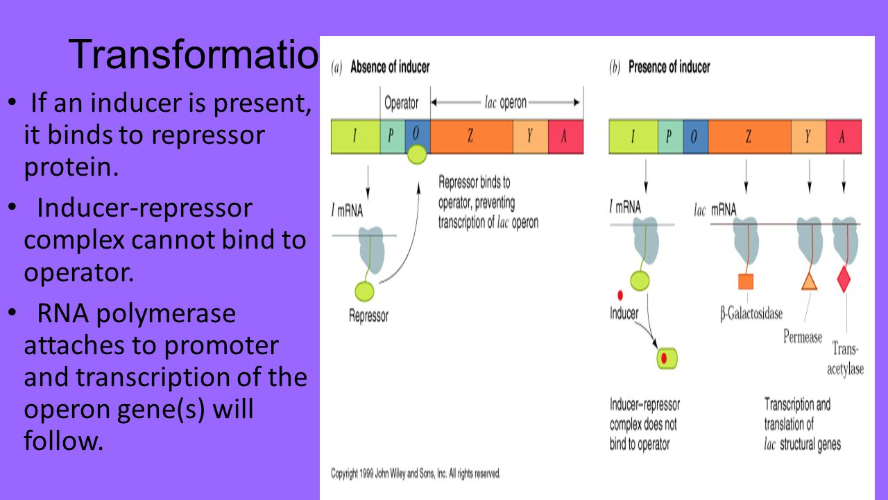 Transformation If an inducer is present, it binds to repressor protein. Inducer-repressor complex cannot bind to operator.
