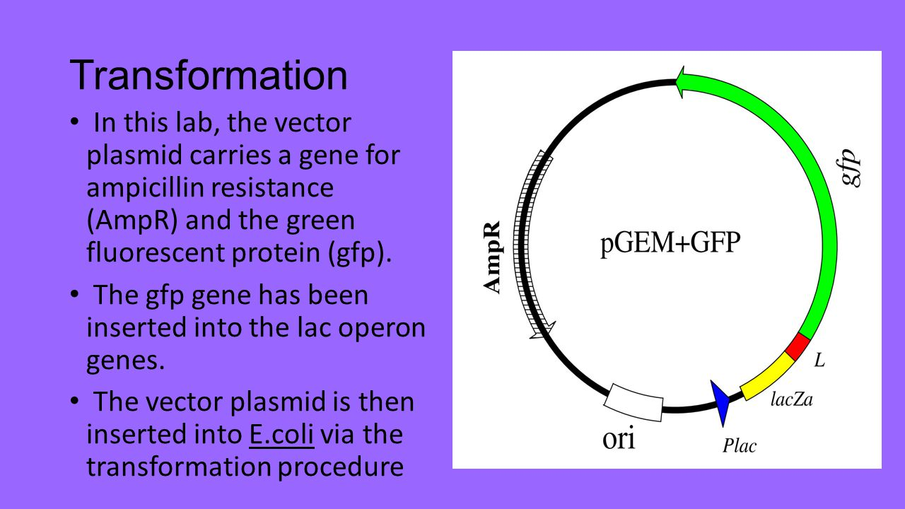 Transformation In this lab, the vector plasmid carries a gene for ampicillin resistance (AmpR) and the green fluorescent protein (gfp).