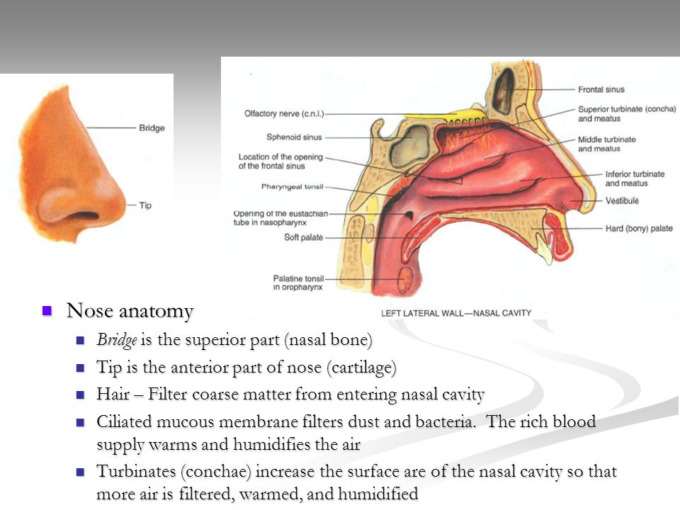 Beautiful Lateral Wall Of Nose Anatomy Component - Anatomy And ...