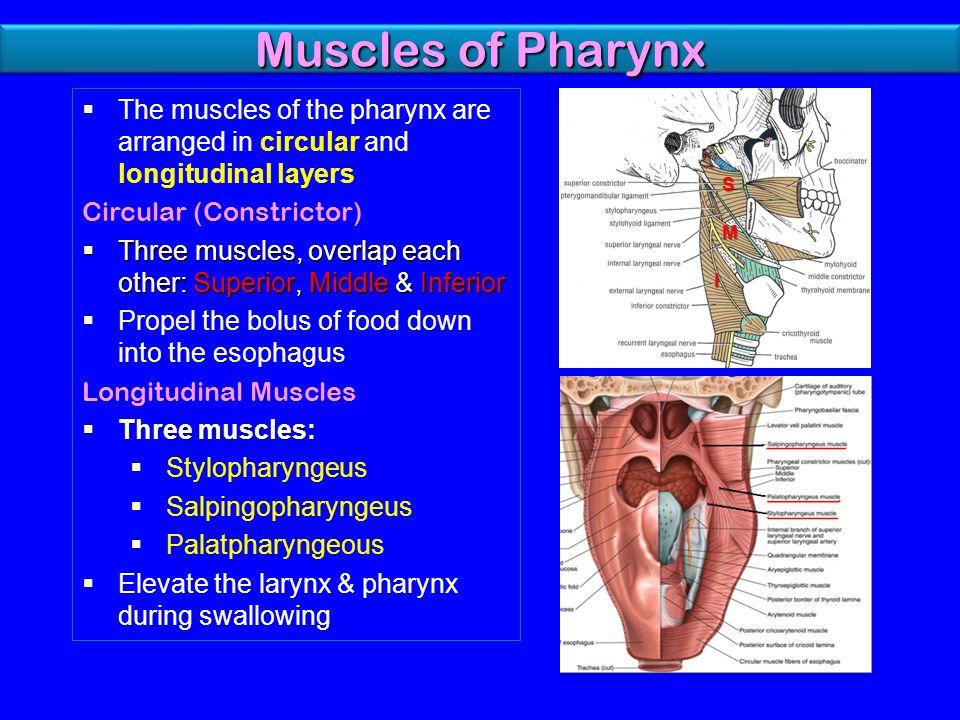 Pharynx anatomy video