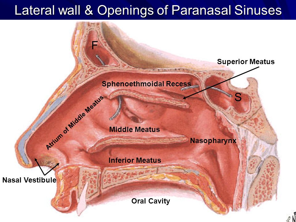 GROSS ANATOMY OF THE NASAL CAVITY & THE PHARYNX - ppt ...