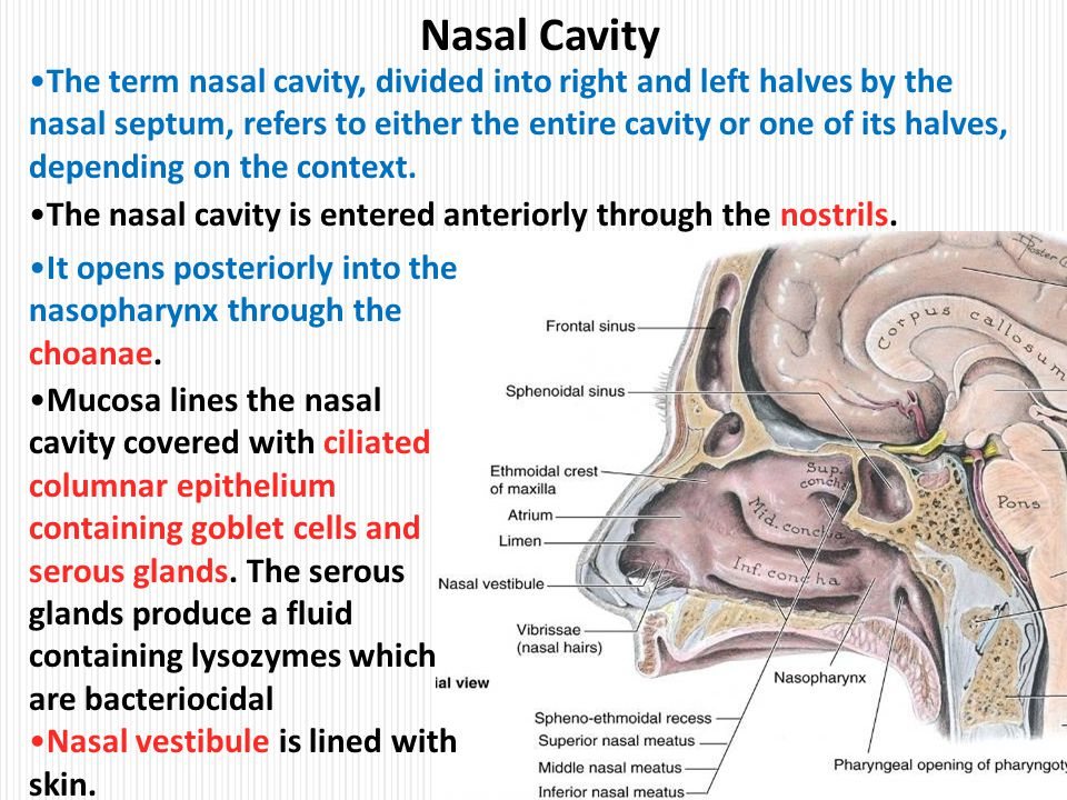 clinical anatomy of head nasal cavity ppt video online
