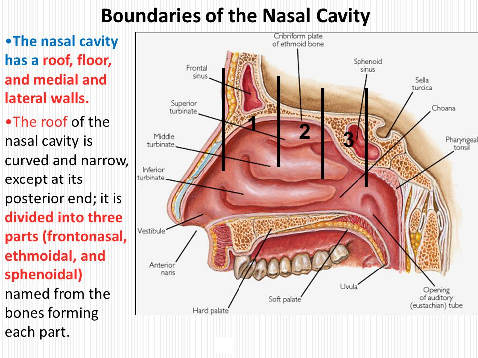 Elegant Boundaries Of The Nasal Cavity