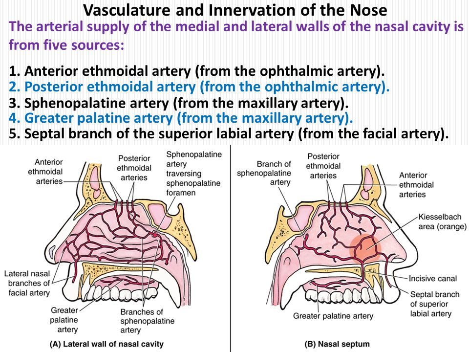 Anatomy of lateral wall of nose