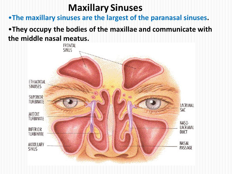Clinical anatomy of head nasal cavity ppt video online for Floor of the maxillary sinus