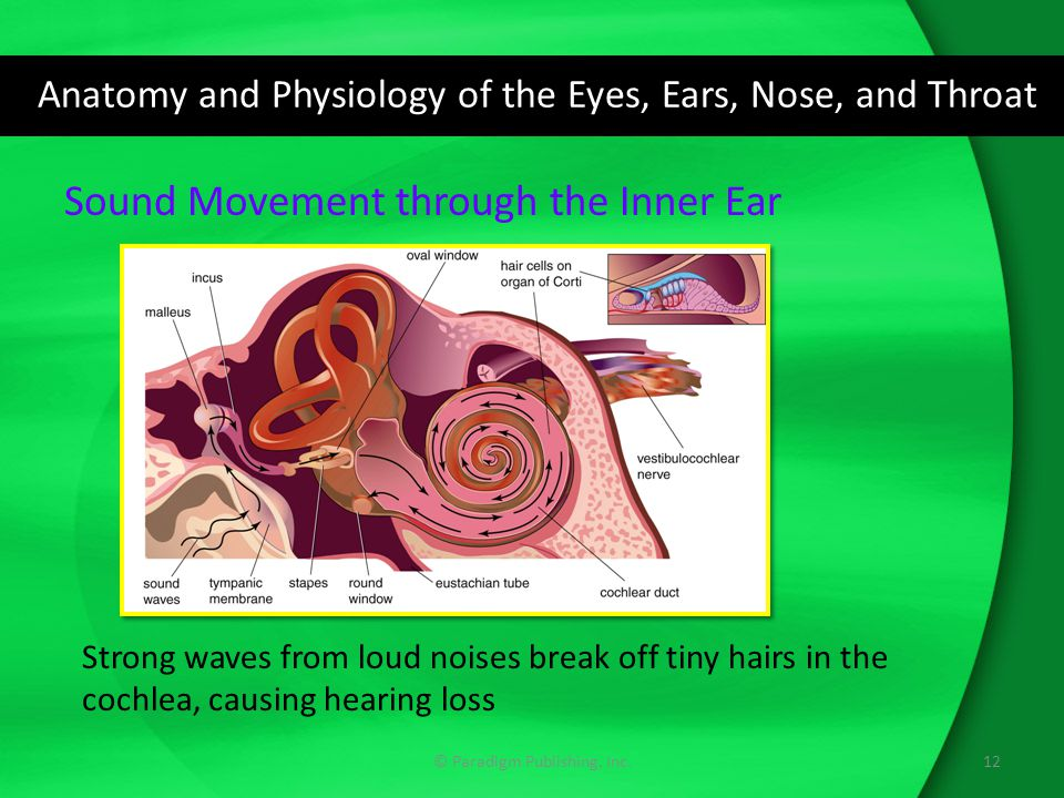 Erfreut Anatomy And Physiology Of Ear Nose And Throat Ppt Fotos ...