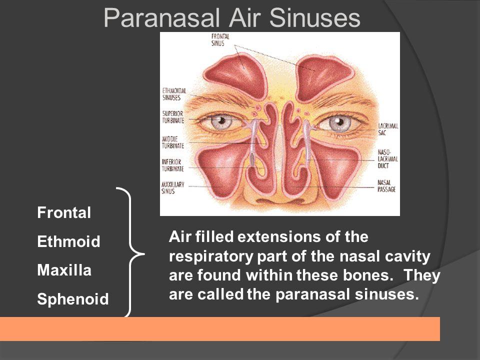Anatomy paranasal sinuses