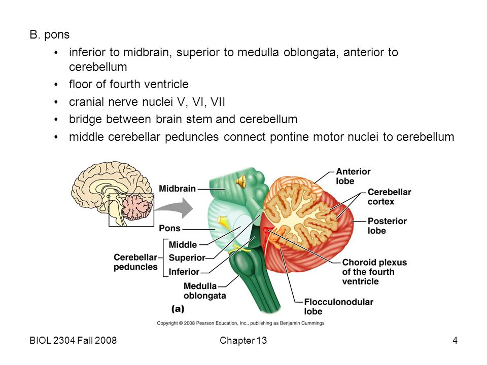 V overview of major regions of the brain ppt video for Floor of fourth ventricle