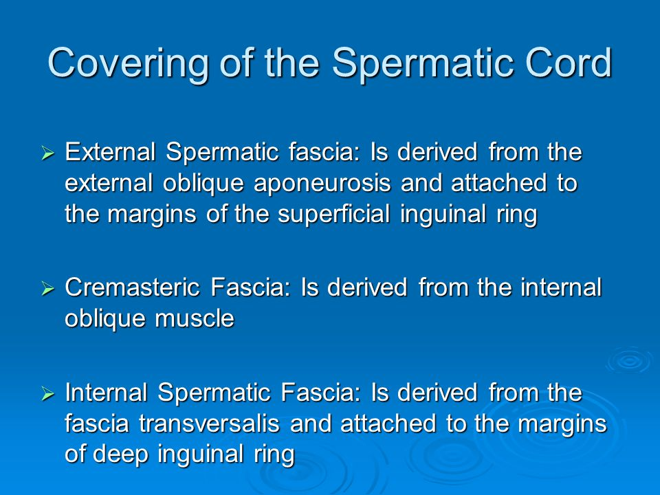 Covering of the Spermatic Cord
