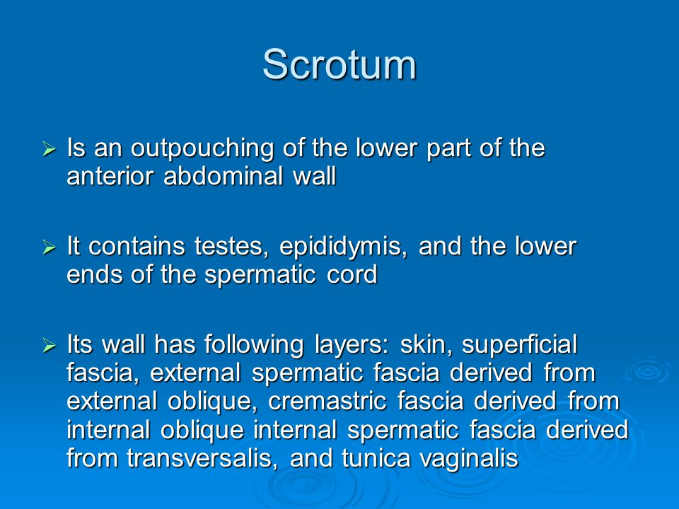 Scrotum Is an outpouching of the lower part of the anterior abdominal wall. It contains testes, epididymis, and the lower ends of the spermatic cord.