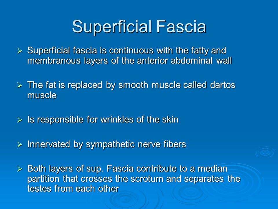 Superficial Fascia Superficial fascia is continuous with the fatty and membranous layers of the anterior abdominal wall.