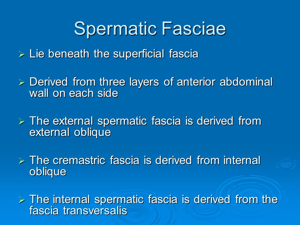 Spermatic Fasciae Lie beneath the superficial fascia
