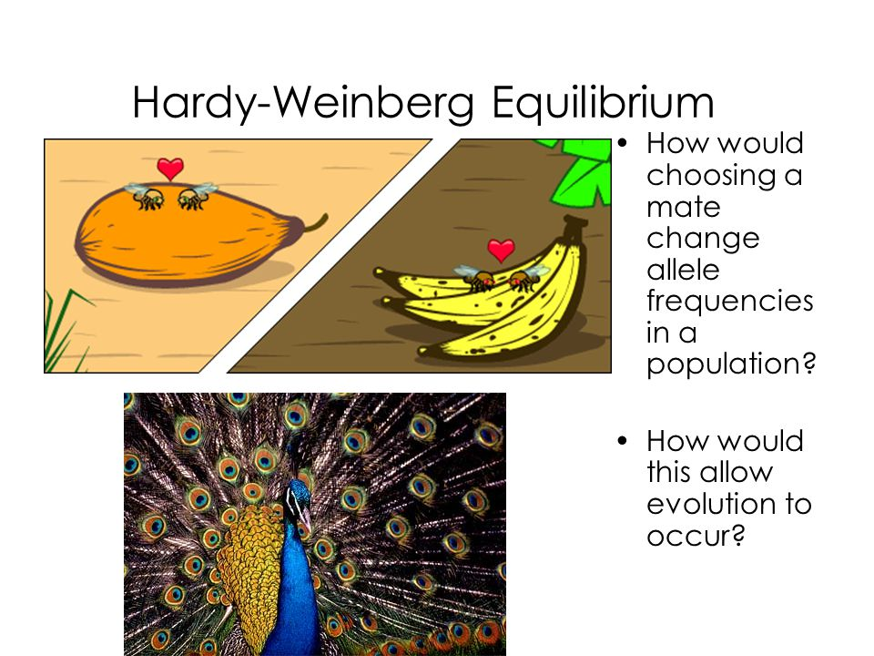 hardy weinberg equilibrium Hardy-weinberg equilibrium allele frequencies (or percentages, if you prefer) in a population will remain in hardy-weinberg equilibrium (hwe) from generation to generation if the following assumptions are met.