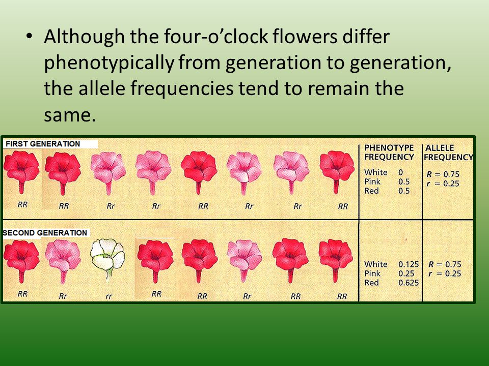 Although the four-o'clock flowers differ phenotypically from generation to generation, the allele frequencies tend to remain the same.