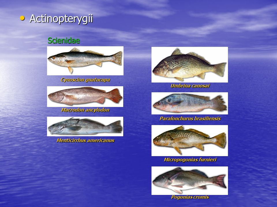 Actinopterygii Scienidae Cynoscion guatucupa Umbrina canosai