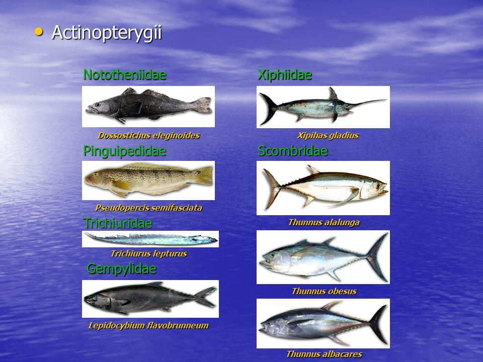 Actinopterygii Nototheniidae Xiphiidae Xiphiidae Pinguipedidae