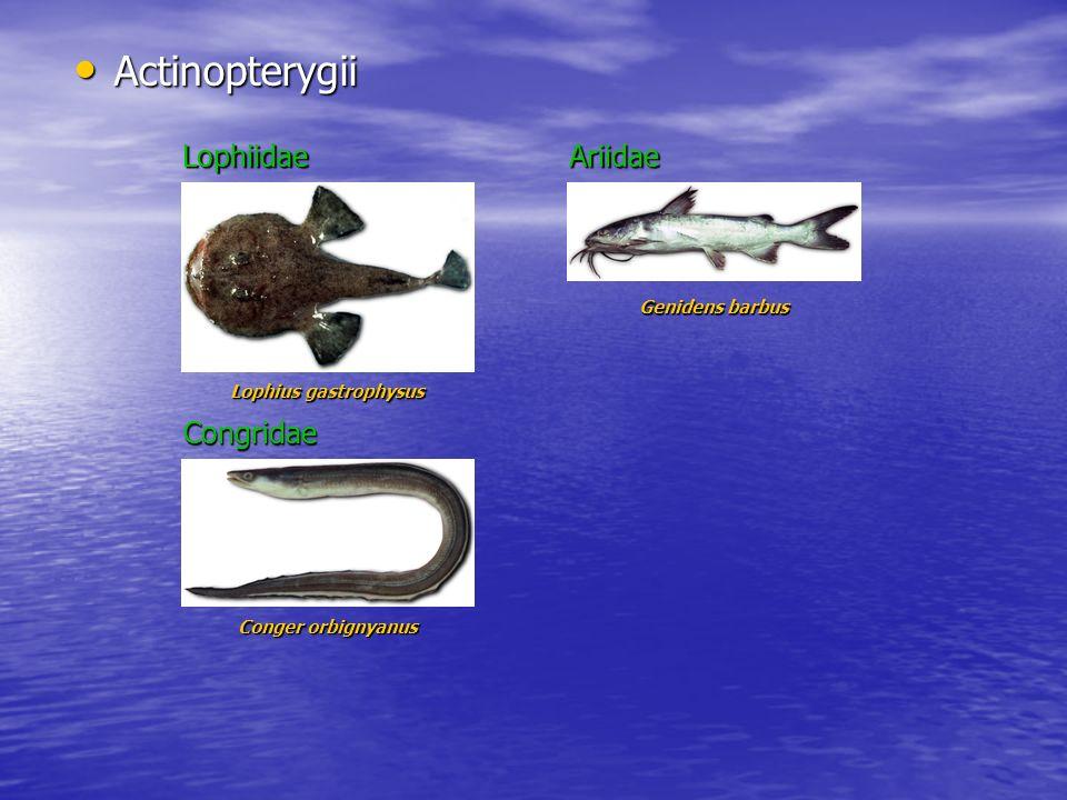 Actinopterygii Lophiidae Ariidae Congridae Genidens barbus