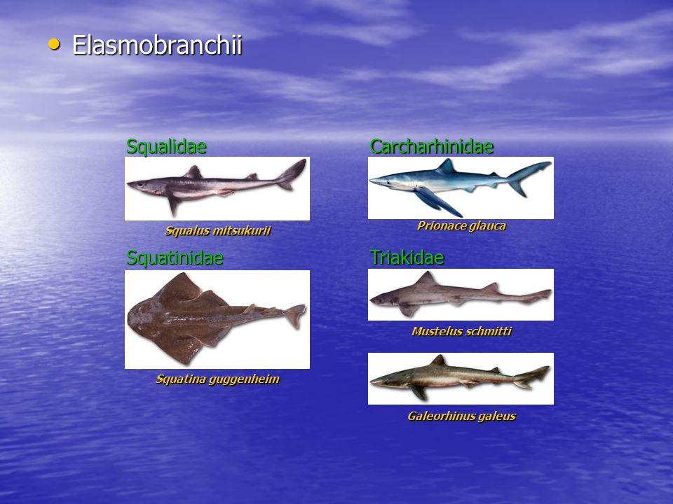 Elasmobranchii Squalidae Carcharhinidae Squatinidae Triakidae