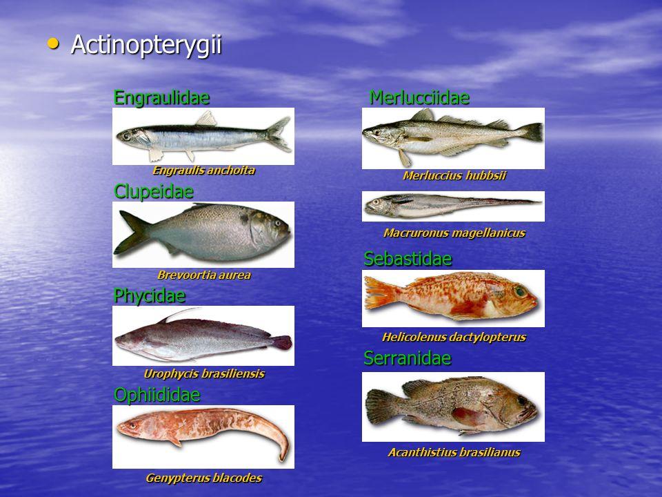 Actinopterygii Engraulidae Merlucciidae Clupeidae Sebastidae Phycidae