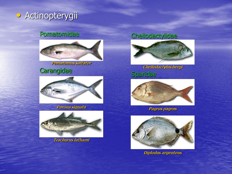 Actinopterygii Pomatomidae Cheilodactylidae Carangidae Sparidae