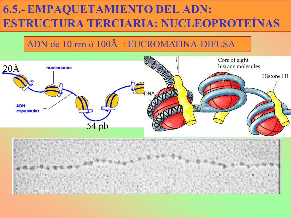 6.5.- EMPAQUETAMIENTO DEL ADN: ESTRUCTURA TERCIARIA: NUCLEOPROTEÍNAS