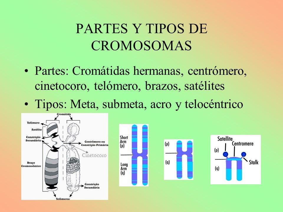 PARTES Y TIPOS DE CROMOSOMAS