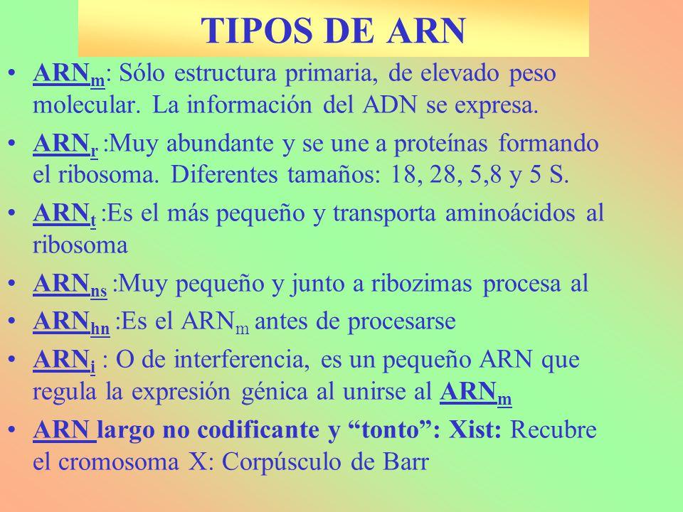 TIPOS DE ARN ARNm: Sólo estructura primaria, de elevado peso molecular. La información del ADN se expresa.