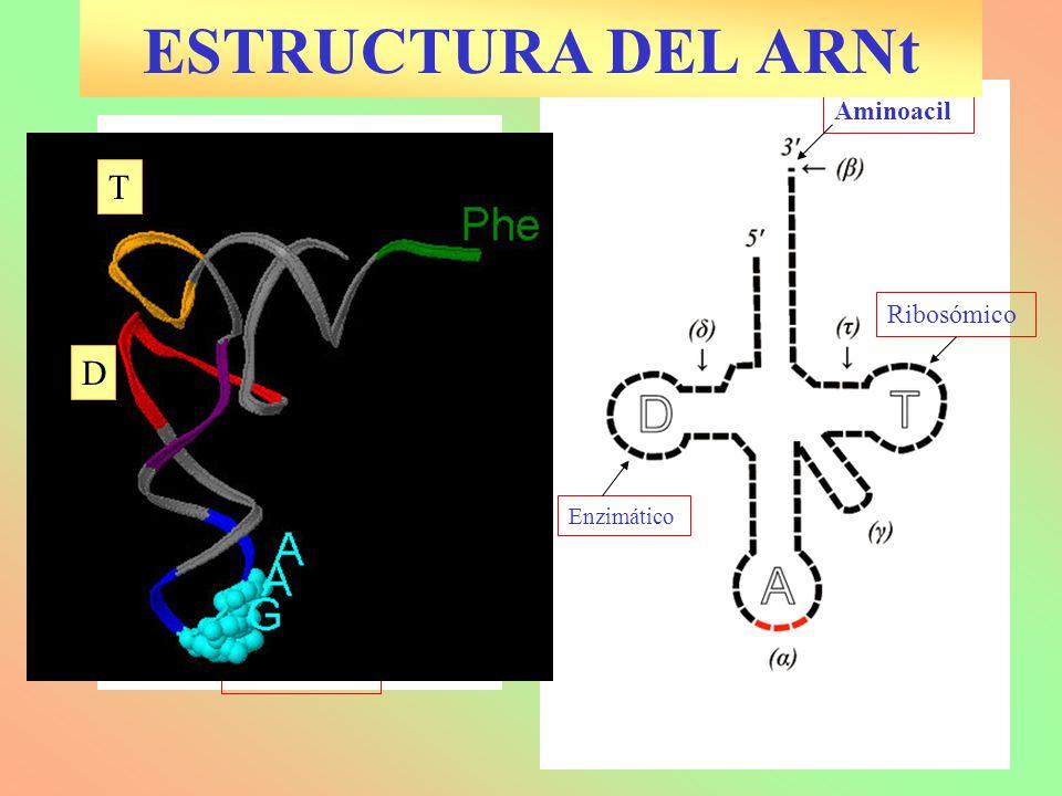 ESTRUCTURA DEL ARNt T D Anticodón Aminoacil Ribosómico Variable